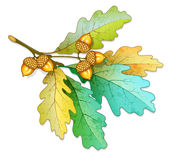 Oak tree branch with acorns and dry leaves Royalty Free Stock Images