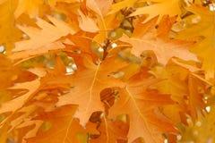 Oak tree branch at fall stock photo