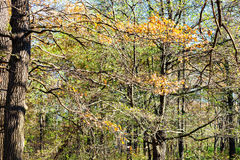 Oak tree branch with yellow leaves in urban park Stock Image