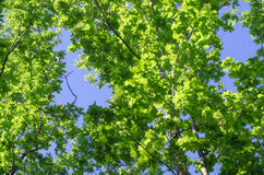 Oak tree branches  against blue sky Royalty Free Stock Photos