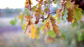 Oak tree branches with autumn foliage. Beautiful. Oak tree branches with autumn foliage. HD. 1920x1080 stock video