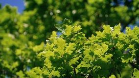 Oak Tree Branches In Breeze Closeup. Closeup of oak leaves in gentle breeze stock footage