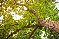 Oak tree branches with bright green leaves stock photography