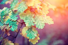 Oak tree branches with colorful leaves. At sunset light royalty free stock photography