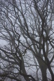 Oak Tree Branches in Fog Stock Image