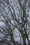 Oak Tree Branches in Fog Stock Image