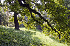 Oak tree branches and morning sunlight in park Royalty Free Stock Photography