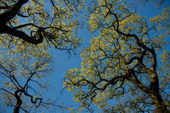 Oak tree branches in silhouette Royalty Free Stock Images