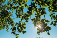 Oak tree branches with summer foliage. In sunlight against blue sky with Royalty Free Stock Images