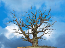 Oak tree on bright blue sky Royalty Free Stock Images
