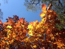 Oak Tree with Bright Yellow Leaves in the Sun in the Fall. Royalty Free Stock Image