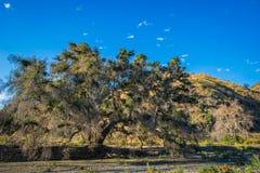 Oak Tree in California Canyon Stock Photos