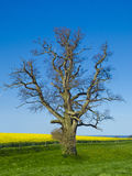 Oak tree, canola field and the sea. Agrarian landscape with blooming canola field and the sea Royalty Free Stock Photography