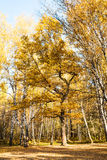 Oak tree at clearing in birch woods in autumn Royalty Free Stock Photos