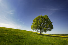 Oak tree in countryside Royalty Free Stock Image