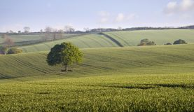 Oak Tree Countryside. A single Oak tree in a field of young green wheat. Rolling hills of the English Countryside Stock Photography