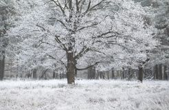 Oak tree covered with frost Royalty Free Stock Images