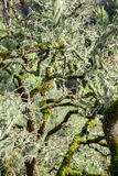 An oak tree covered in Lace Lichen (Ramalina menziesii) Royalty Free Stock Images
