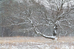 Oak tree covered with snow Royalty Free Stock Photo