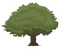 Oak tree Stock Photography