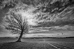 Oak tree on crop field with incoming crane birds. Black and white manipulated landscape Royalty Free Stock Photography