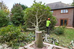 Oak tree cut down in a garden. An oak tree in cut down in a garden near a house. The stump is in the foreground with ring in the wood. A lumberjack in hi-viz and Stock Photography