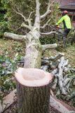 Oak tree cut down in a garden. An oak tree in cut down in a garden near a house. The stump is in the foreground with ring in the wood. A lumberjack in hi-viz and Royalty Free Stock Photography