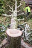 Oak tree cut down in a garden Royalty Free Stock Photography