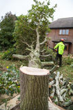 Oak tree cut down in a garden. An oak tree in cut down in a garden near a house. The stump is in the foreground with ring in the wood. A lumberjack in hi-viz and Royalty Free Stock Image