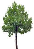 Oak Tree Cutout Royalty Free Stock Image