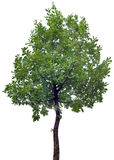 Oak Tree Cutout Royalty Free Stock Images