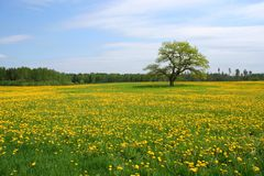 Oak tree on the Dandelion field Royalty Free Stock Photography