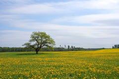 Oak tree on the dandelion field Stock Image