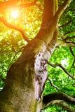 Oak tree. Detail of mighty oak tree in summer time Royalty Free Stock Photo