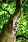 Oak tree. Detail of mighty oak tree in summer time Stock Images