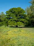 Oak tree in distance, with yellow buttercups growing in the grass, in Long Meadow, ancient water meadow in Eastcote, Hillingdon UK