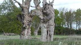 Oak Tree Dryads in an ancient petrified forest day in English Countryside on a cloudy day. 9 royalty free stock images