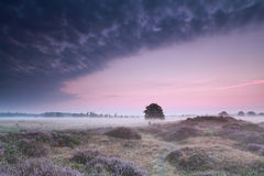 Oak tree in dunes with flowering heather at sunrise Stock Photography