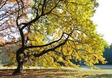 Oak tree in dusk light Royalty Free Stock Photos