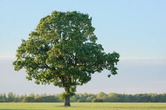 Oak Tree In Early Autumn. An oak tree on its own in a recently sown farmer's field. It is early autumn and the leaves are just beginning to turn from green to Royalty Free Stock Photos