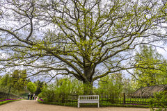 An oak tree in the estate of Pushkin, Pskov region, Russia Royalty Free Stock Photo