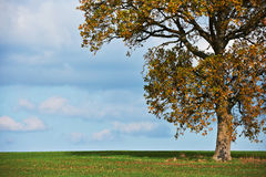 Oak tree in fall Royalty Free Stock Images