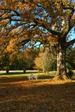 Oak tree in the fall. An oak tree in the fall with the leaves changing colors stock photography