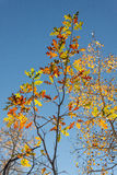 Oak Tree in Fall Stock Image