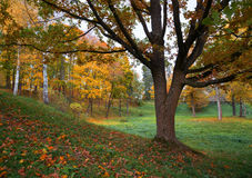 Oak tree in fall. Stock Image