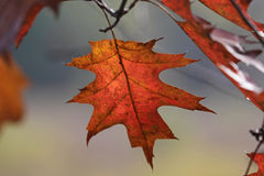 Oak Tree Fall Leaf Stock Photo
