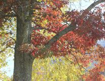 Oak Tree in Fall. Oak leaves changing to red in the Fall Stock Photography