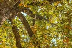 Oak Tree Fall Leaves Stock Photos