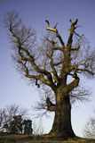 Oak tree in the fall Stock Image