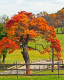Oak Tree in Fall. And split rail fence with meadows Stock Photos
